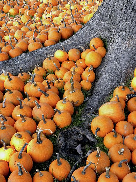 Sandi OReilly - Sea of Pumpkins