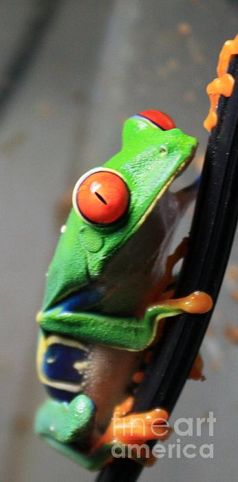 Laurie  Weaver - Sherbet the red-eyed tree Frog