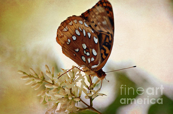 Peggy Franz - Silver Spotted  Skipper Butterfly