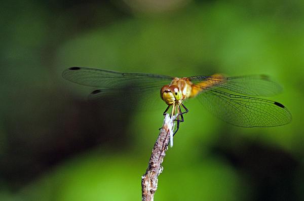 Cheryl Cencich - Smiling dragonfly