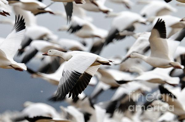 Craig Leaper - Snow Geese Take Off