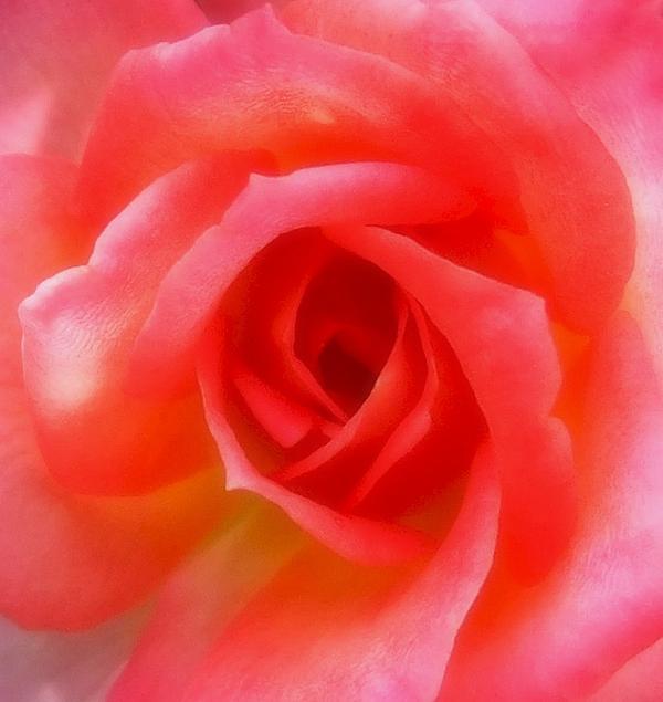 Rose Szautner - Softness of a Rose