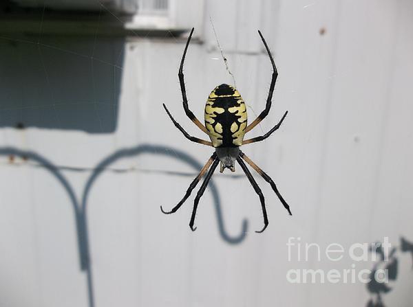 Aaron Chapman - Spider