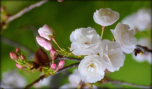Rima Biswas - Spring beauty