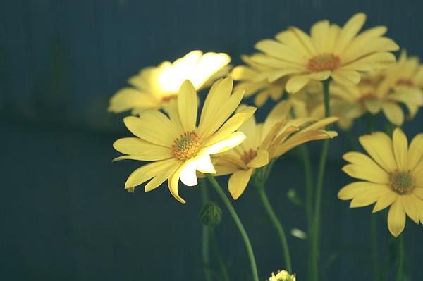 Cathie Tyler - Spring Daisy
