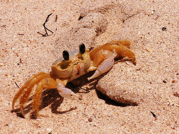 Kimberly Perry - St. Lucia Crab on Beach