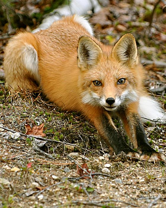 Rick Frost - Stretching Fox