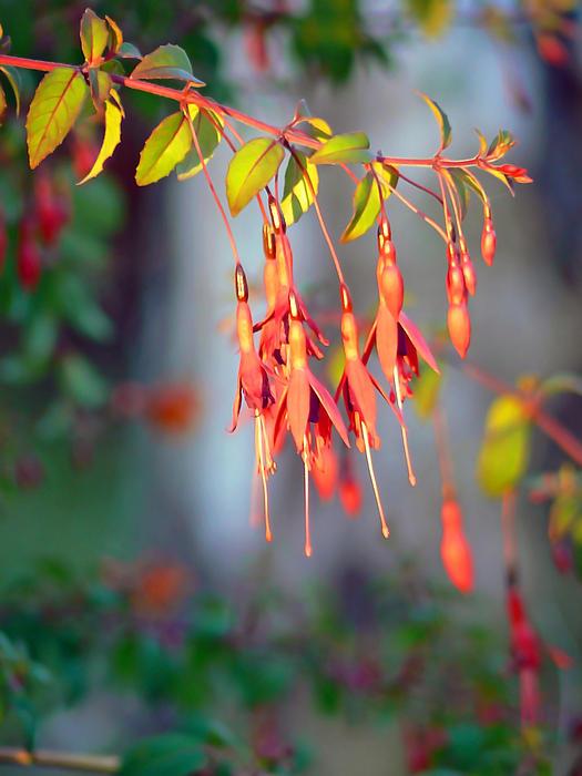 Pamela Patch - Sundown Fuchsia