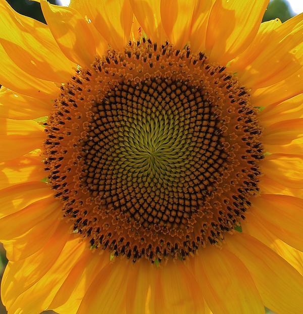 Bruce Bley - Sunflower Delight