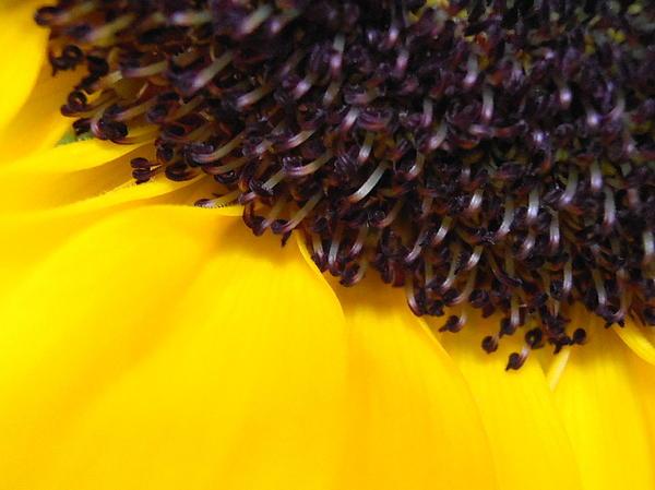 Kimberly Perry - Sunflower Macro
