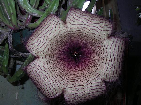 Yvette Pichette - The Flower