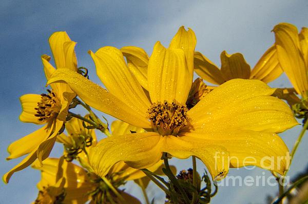 Darleen Stry - Thin leafed Sunflower