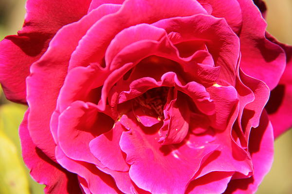 Susanna Raj - Vibrant Rose