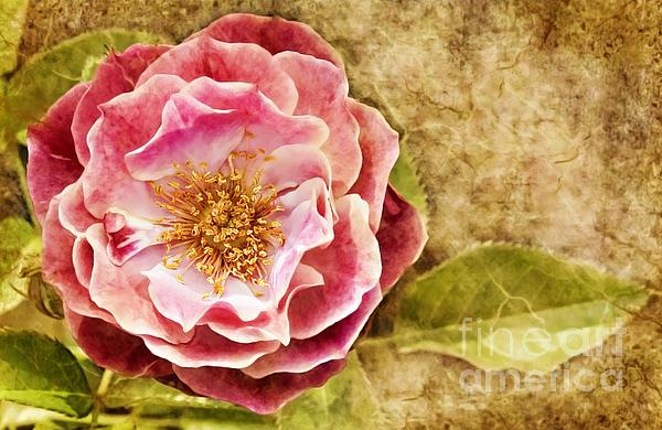 Cheryl Davis - Vintage Rose
