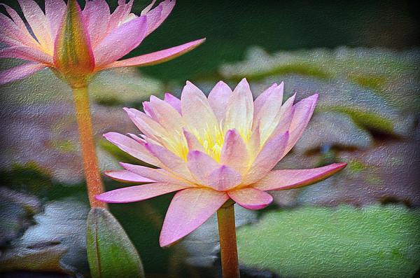 Steven Michael - Water Lilies