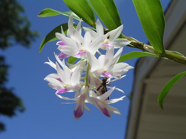 Tabitha Harwood - White Orchid