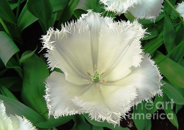 AmaS Art - White Tulip