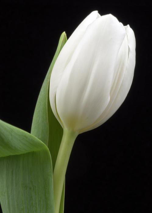 Ken Shuster - White tulip