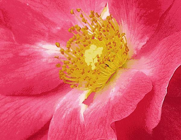 Lori Pessin Lafargue - Wild Rose