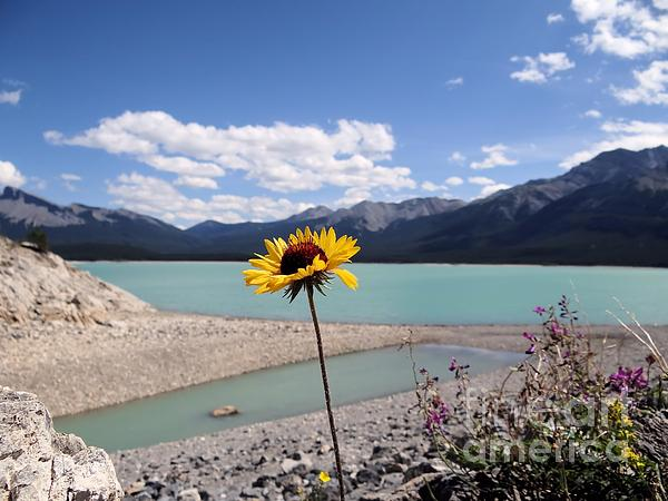 Patricia  Paterson - Wildflower at Abraham Lake Alberta