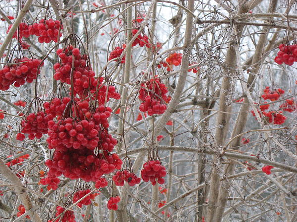 Lillie Marlay - Winter Berries