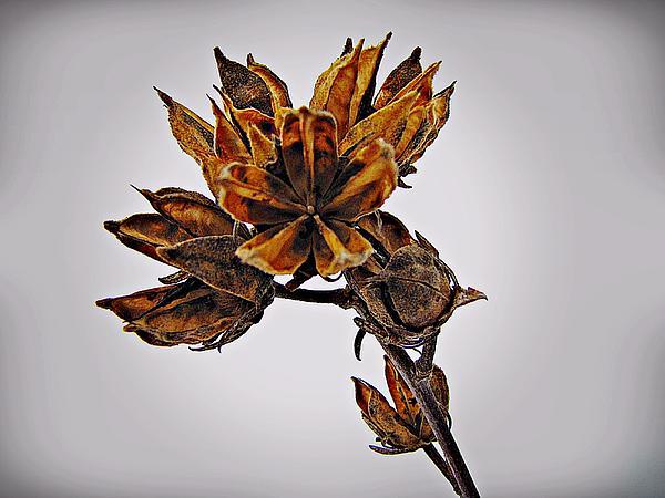 David Dehner - Winter Dormant Rose of Sharon