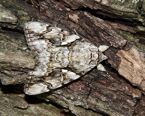 Doris Potter - Yellow-banded Underwing Moth