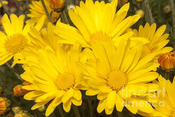 Darleen Stry - Yellow Mums in Autumn