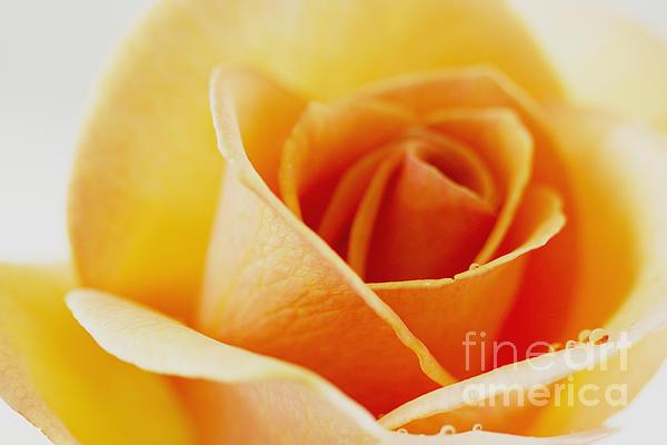 Jinfeng Shi - Yellow Rose after the rain