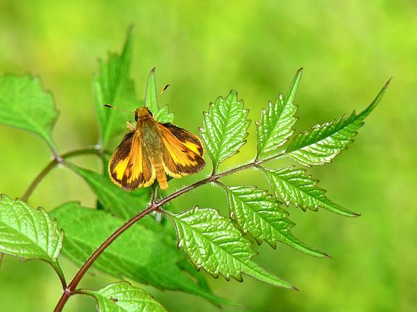 Mother Nature - Zabulon Skipper Butterfly - Poanes zabulon