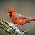 Portrait Of Cardinal  by Ben Lavitt