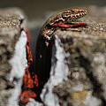 A Lizard Emerging From Its Hole by Stwayne Keubrick