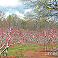 A Peach Orchard   by Lydia Holly
