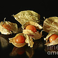 A Taste Of Columbia Physalis Aztec Golden Goose Berry  by Inspired Nature Photography Fine Art Photography