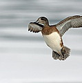 American Wigeon by Jim Nelson