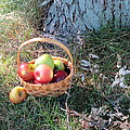Apples Everywhere by Jennifer Fliegel