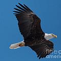 Bald Eagle In Flight 6 by Ronald Grogan