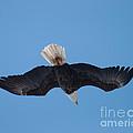 Bald Eagle In Flight 8 by Ronald Grogan