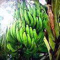 Banana Plants by Jeelan Clark