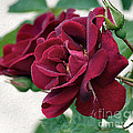Beautiful Red Roses by Luv Photography