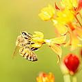 Bee On Milkweed by Greg Allore