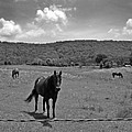 Black And White Pasture With Three Horses by Anne Cameron Cutri