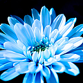 Blue Chrysanthemum by Scott Carruthers