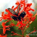 Butterfly Dance by Kathleen Struckle