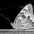 Butterfly In Black And White by David and Carol Kelly