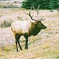 Canadian Elk by Richard Jenkins