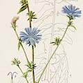 Chicory, Or Succory         Date 1915 by Mary Evans Picture Library