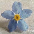 Myosotis 'forget-me-not'- Single Flower by Vix Edwards