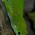 Climbing Giant Day Gecko by Jill Mitchell