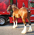 Clydesdale At Esp by Alice Gipson